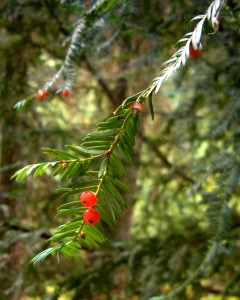 My new favourite tree: the Pacific Yew. Taxol was originally derived from Taxus brevifolia (the Pacific Yew) foliage and fruit. As the tree was already becoming scarce when its chemotherapeutic potential was realized in the late '50s, the Pacific yew was never commercially harvested from its habitat at a large scale; the widespread use of the paclitaxel (taxol) was enabled when a semi-synthetic pathway was developed from extracts of cultivated yews of other species.